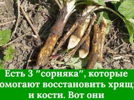 Есть 3 ″сорняка″, которые помогают восстановить хрящи и кости. Вот они