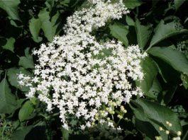 Цвет бузины — хорошее лекарство. Раньше из ее цветочков делали очень вкусный и целебный напиток