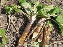 Вот 3 ″сорняка″, которые помогают восстановить хрящи и кости