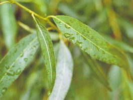 Ива белая — дерево-аптека. Ее кора заменит аспирин, вылечит варикоз и гепатит, а листья исцелят сердечные болезни