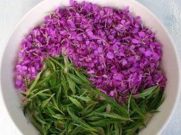Иван-чай: полезные, лечебные свойства