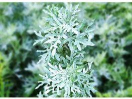 Полынь — «встань трава» — от всех недугов