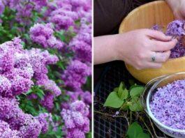 Успей в пик цветения: заполни литрушку растительным маслом и фиолетовыми цветками
