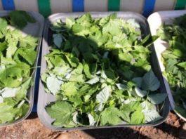 Зачем я каждый год сушу листья смородины? Да потому что они лечат кучу болезней, причем без вреда для организма