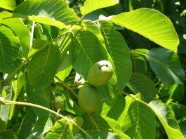 Листья грецкого ореха не менее целебны, чем его плоды