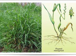 Пырей — это тот сорняк, который природа дает нам буквально под ноги для нашего лечения