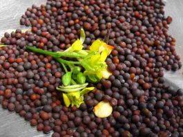 Щепотка семян горчицы очистит кровь, кишечник и сосуды головного мозга