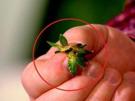 Сушеные хвостики клубники ценятся дороже, чем сама ягода: не упусти свой шанс заготовить их в сезон