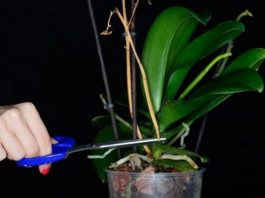 Что делать, если не цветет орхидея. Супер-простой способ который заставит ее быстро цвести