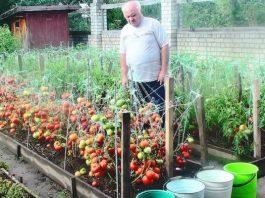 Дедовский рецепт для томатов. Никогда не подводил