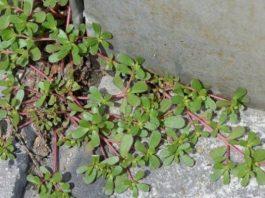 Если вы увидите это растение в вашем дворе, ни в коем случае не уничтожайте его. Вот почему