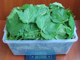 Каждый год заготавливаю смородиновые листья — это отличное лекарство для почек и суставов