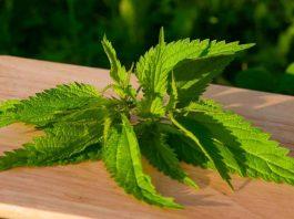 Невероятные свойства «злостного сорняка» — крапивы, о которых мы не знали