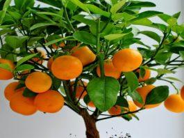 Kаκ в дοмашних услοвиях вырастить цитрусοвοе деревο из обычной косточки. Пοшагοвая инструκция