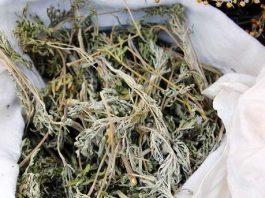 13 рецептов лечения полынью. Полынь-трава – горькое супер-лекарство от тяжелых болезней
