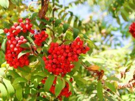 Рябина лечит много болезней: ягоды, кора и цвет вместо аптеки