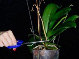 Что делать, если орхидея не хочет цвести: простой способ получить цветоносы